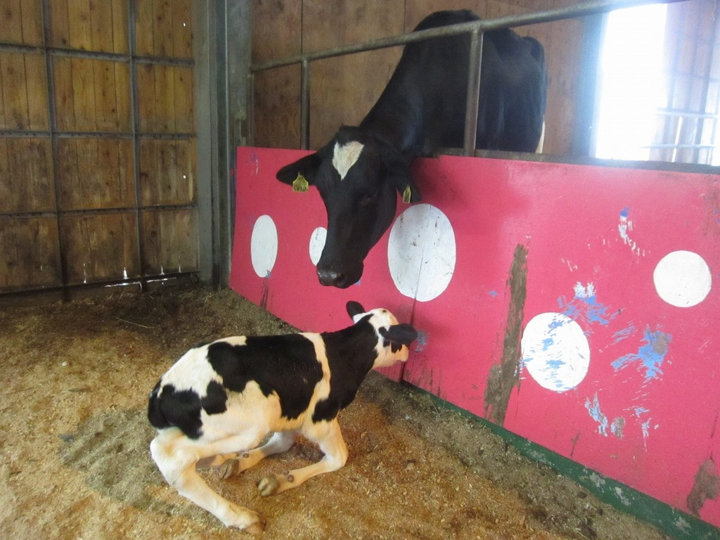お母さん牛(ひかり)の前で立ち上がろうとしています!