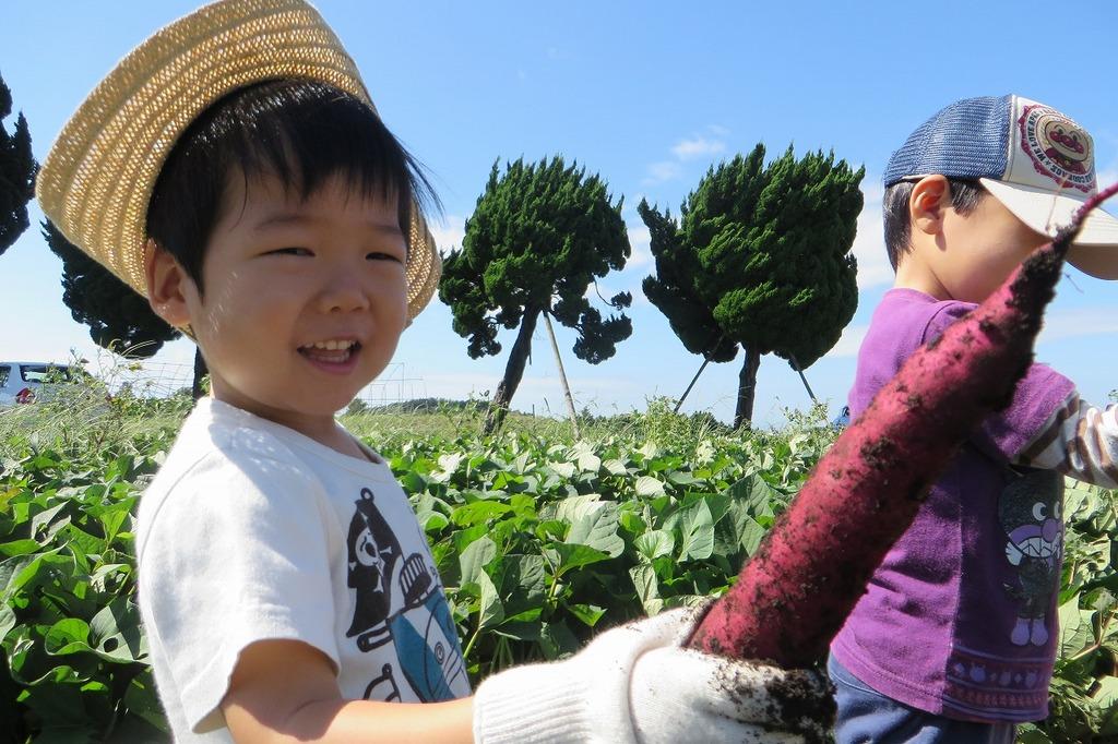 さつまいもの収穫体験も11月末までやっています♪今年は豊作です!!!