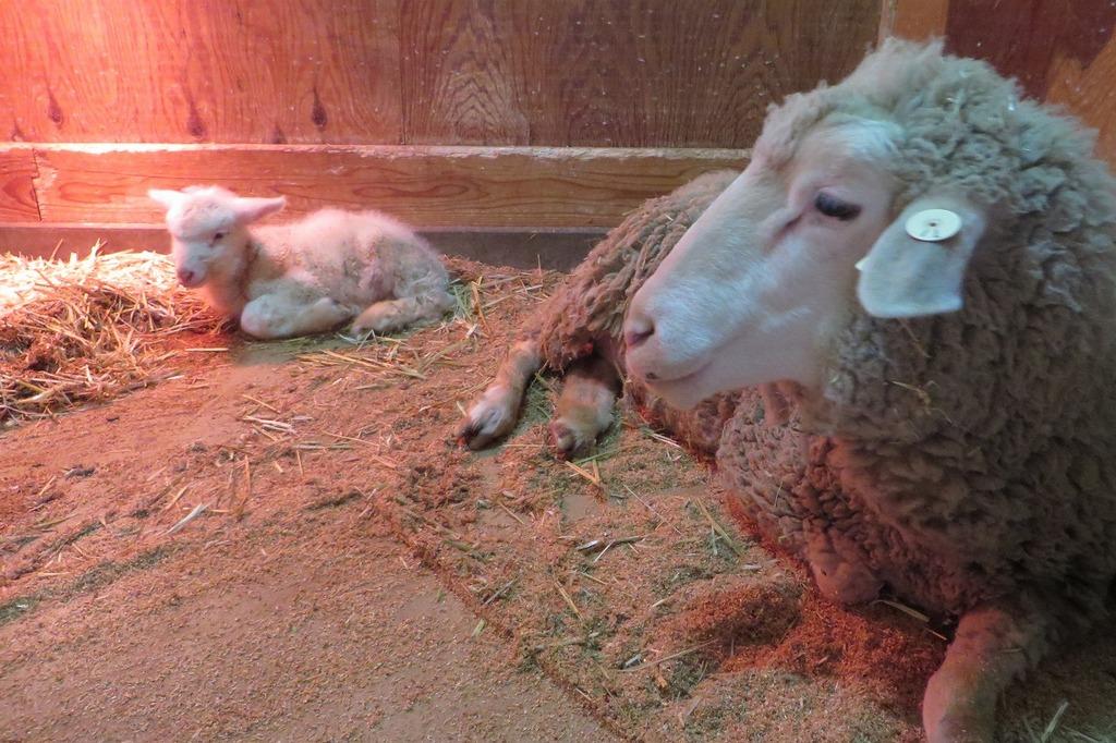 """""""新聞やTVで話題沸騰?!牧場の赤ちゃん羊に会いにきてね~♪"""