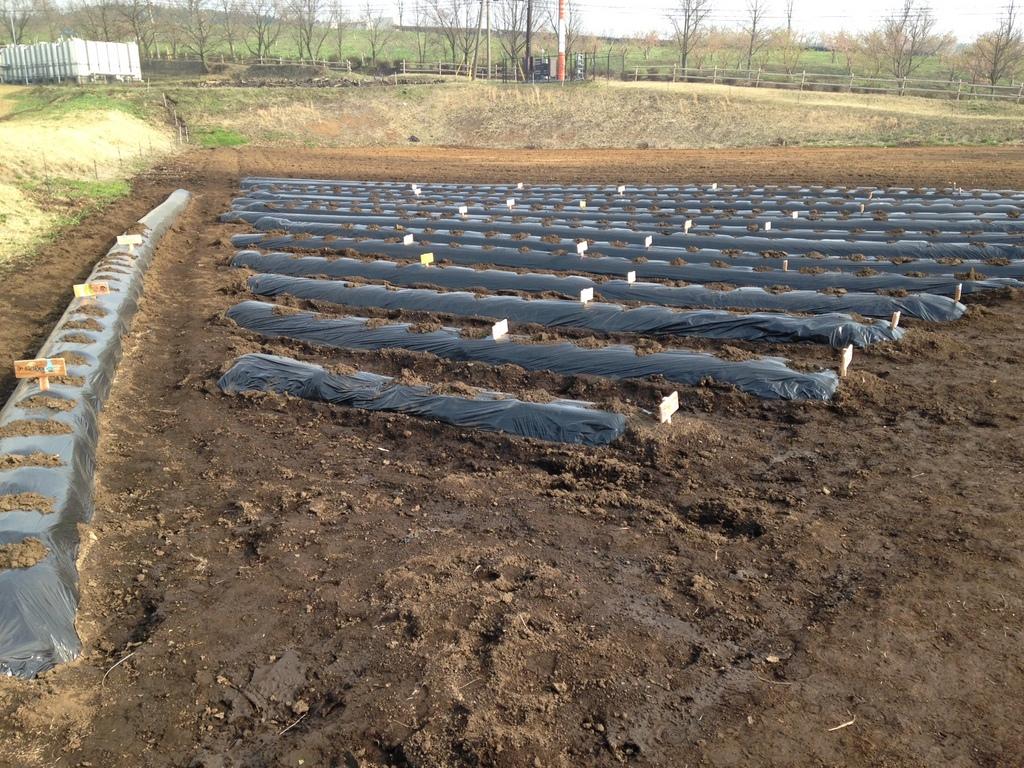ジャガイモ、里芋あわせて約50区画の植え付けを行いました!!