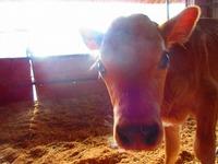 ジャージー種の子牛誕生♪