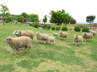 羊のお帰りタイム。園内にいたヒツジさんたちも、自分で帰っていきます。