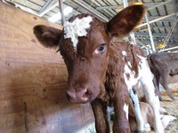 エアシャー種の子牛誕生☆
