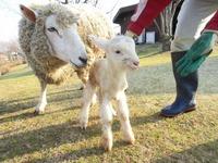 春のベビーラッシュ!またまた羊の赤ちゃんが誕生!名前はシューマイ
