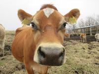 2016年3月14日 ジャージー種『ハイハイ 耳標番号8181』出産予定です。