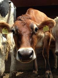 2016年3月14日ジャージー種『きなこ 耳標番号7039』が出産予定です♪