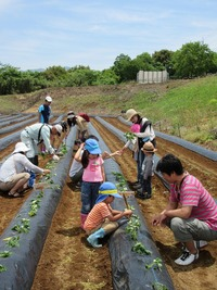 2016 サツマイモ植え付け体験