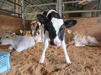 ホルスタインの子牛誕生