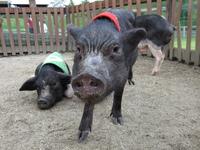 2009 子豚ちゃん★只今、動物のわくわくレースのレーサーとして活躍中です