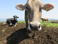6月16日ブラウンスイス種の『もなか 耳標番号5898』が出産予定です★