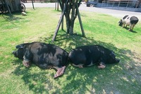 2009 大きな黒豚さんと、ぶち模様の豚さんです