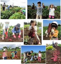 2016 『サツマイモ・里芋収穫体験』
