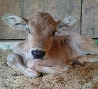 ブラウンスイス種の子牛誕生☆