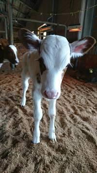 牛の赤ちゃんが生まれました☆