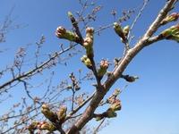 2018年 牧場の桜が咲きますよ✿