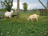 山羊(ヤギ)の親子