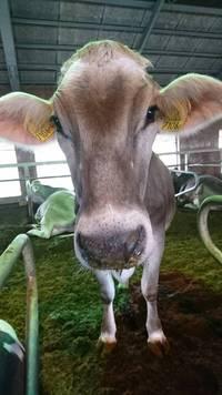 2018年9月6日ブラウンスイス種『ベル』が出産予定です。