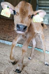 2018牛の赤ちゃんが産まれました♪