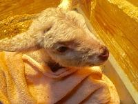 2018羊の赤ちゃんが産まれました♪