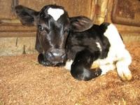牛さんの赤ちゃんが生まれたよ♪
