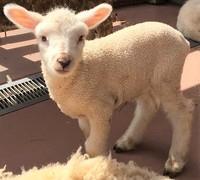 2019 羊の赤ちゃんが生まれました♪