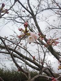 2019年 牧場の桜も咲き始めましたよ