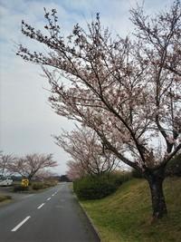2019年3月29日 牧場の桜開花状況part②