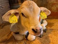 2019年 牛の赤ちゃんが産まれました♪