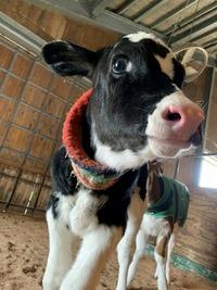 2020年 牛の赤ちゃんが産まれました♪