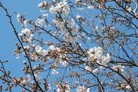 牧場の桜咲き始めてますよ♪part②