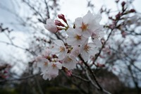 牧場の桜が咲き始めてますよ★part③