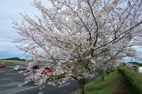 牧場の桜の開花状況~♪part④