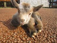 沢山、山羊の赤ちゃんが生まれたよ!!