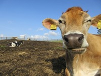 2020年11月5日 ジャージー種『オトメ 耳標№7055』が出産を迎えます。