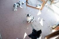 ボーダーコリーの仔犬が動物ふれあい広場でご覧いただけます♪