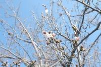 2021年 牧場の桜が咲き始めましたよ♪