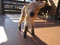羊の赤ちゃんが誕生しました!虎柄ではないけれど・・・『羊虎』(ようこ)ちゃんです☆