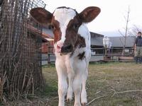 搾乳牛『ハッピー』の赤ちゃんが生まれました♪