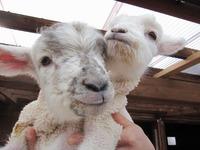 羊が生まれたよ♪
