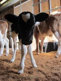 3月24日に牛のダーハムが20kgの赤ちゃんを出産しました!