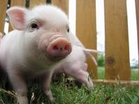 5月14日の朝、ミニ豚の赤ちゃんが生まれたよ!