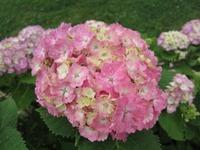 牧場の季節の花(紫陽花)
