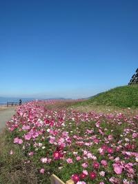 牧場のコスモス2011開花状況☆~その4~