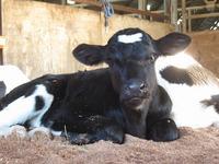 11月5日に、乳牛『のばら(ホルスタイン種)』の赤ちゃんが誕生しました~☆