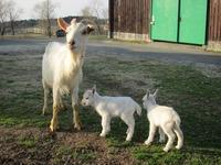 ヤギの双子の赤ちゃんうまれたよ!!