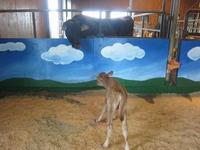 子牛(ジャージー種)の赤ちゃんが産まれたよ~☆