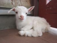 ヤギの赤ちゃんがうまれましたよ~♪