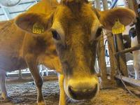 2014年1月12日ジャージー種『レベッカ 耳標No6503』が出産予定です。