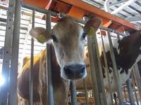 2014年1月19日ジャージー種『ゆずき 耳標No6932』が出産予定