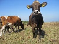 2014年2月20日 ブラウンスイス種『アサガオ 耳標番号6974』出産予定です。